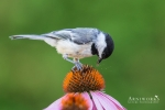 Chickadee - Black-capped Chickadee 01