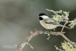 Chickadee - Black-capped Chickadee 02