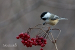 Chickadee - Black-capped Chickadee 03