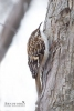 Brown Creeper 01