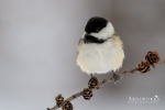 Chickadee - Black-capped Chickadee 05