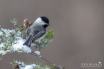 Chickadee - Black-capped Chickadee 06