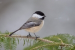 Chickadee - Black-capped Chickadee 07
