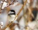 Chickadee - Black-capped Chickadee 08