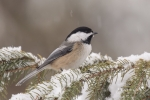 Chickadee - Black-capped Chickadee 09