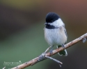 Chickadee - Black-capped Chickadee 10