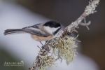Chickadee - Black-capped Chickadee 11