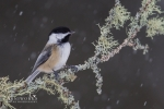 Chickadee - Black-capped Chickadee 12