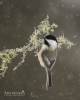 Chickadee - Black-capped Chickadee 13