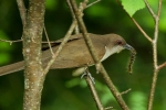 black-billed-cuckoo
