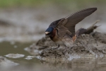 cave-swallow5