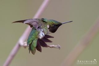 Ruby-throated Hummingbird 1