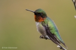 Ruby-throated Hummingbird 14
