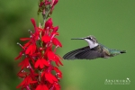 Ruby-throated Hummingbird 10