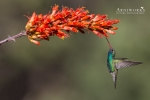 Broad-billed Hummingbird 1