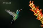 Broad-billed Hummingbird 3
