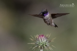 Black-chinned Hummingbird 2