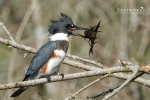 Belted Kingfisher 5