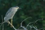 blcr-nigh-heron