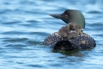loons-w-babies